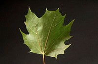 A Norway Maple leaf Acer platanoides