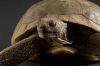 Arizona desert tortoise Gopherus agassizii