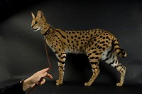 A serval Leptailurus serval at the Denver zoo