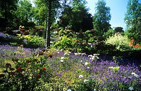 Mixed flowers in a garden  Bluebells Hyacinthoides non- scripta, azaleas Rhododendron sp  amongst trees and shrubs