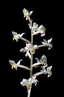 Jewel orchid Ludisia sp