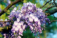Wisteria flowers Wisteria sp   This climber is native to eastern USA and East Asia including China, Korea and Japan