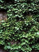 Kiwi fruit plant Actinidia chinensis