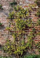Coronilla valentina subsp  glauca  NOCAPTION