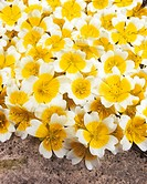 Poached egg plant Limnanthes douglasii