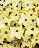 Tobacco flowers Nicotiana alata ´Lime Green´