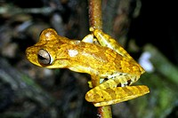 Tree frog Hypsiboas fasciatus  Photographed in Yasuni National Park, Amazon rainforest, Ecuador