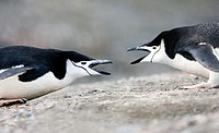 Chinstrap penguins Pygoscelis antarctica displaying to each other  These birds feed almost exclusively on krill  They inhabit the Antarctic and Antarc...