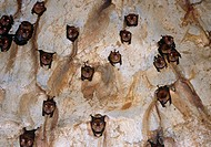 Intermediate roundleaf bats Hipposideros larvatus roosting in a limestone cave  Photographed in Taman Negara National park, Malaysia