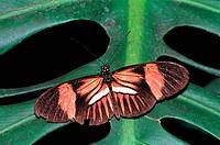 Zoologie, Insekten, Schmetterlinge, Postmann Heliconius melpomene, an Blatt, Verbreitung: Südamerika, schmetterling lepidoptera falter exotisch tropis...