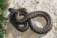 Zoologie, Reptilien, Schlangen, Kreuzotter, Vipera berus, auf einem Stein zusammengerollt, Verbreitung: Mittel,- Ost- und Nordeuropa, nördlicher Balka...