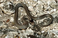 zoology / animals, reptile, Colubridae, Smooth snake Coronella austriaca, on rock, Neusiedler See, Austria, distribution: Europe, western Asia, reptil...