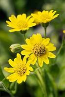 Mountain Arnica blossoms detail (Arnica montana). UW Medicinal Herb Garden, Seattle. Washington. USA