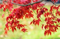Japanese Maple. Acer palmatum. November 2006. Maryland, USA