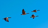 Canada geese flying in formation in the sky over Littleton, Colorado