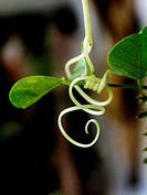 Tendril of a Bitter Gourd_Vegetable creeping plant. (known also as: Karela, Bitter Gourd, Balsam Pear, Balsam apple, squirting cucumber) Latin name: M...
