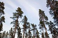 Tall pine forest. Sweden