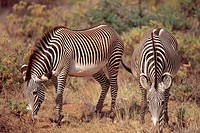 Two grevy´s zebras Equus grevyi grazing on a plain in Samburu National Park, Kenya
