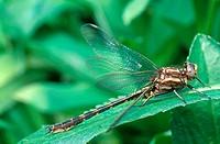 Ashy clubtail dragonfly Gomphus lividus in Ohio