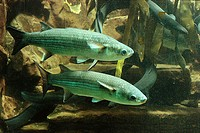 Underwater-reception, Dicklippige mullets, Chelon labrosus, animals, fish, food-fish, graylings, two, symbol, haul, fishery, concept, angler-Latin,