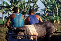 Cuban men with Saddleback Pig
