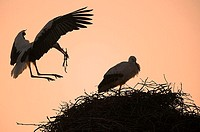 Storchennest, silhouette, Wei&#223;st&#246;rche, Ciconia ciconia, nest-construction, dusk, wildlife, animals, game-animals, birds, migratory birds, waders, St&#246;r...