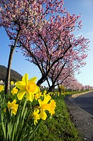 Is in store roadside, almond-trees, daffodils, series, trees almonds Prunus dulcis prime almond-bloom, almond-blossom, pink, season, spring, spring, b...