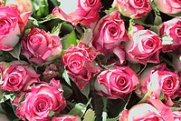 Rose-blooms, know-pink, close-up, plants, flowers, cut-flowers, garden-flowers, ornament-plants, roses, bloom-heads, petals, blooms, white, pink, prim...