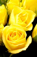 Rose-blooms, yellow, detail, plants, flowers, cut-flowers, garden-flowers, ornament-plants, roses, bloom-heads, blooms, petals, prime, Floristik, natu...