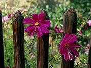 Fence, detail, Kosmeen, Cosmos bipinnatus, blooms, pink, garden, fence, wood-fence, wood-slats, slat-fence, plants, flowers, garden-flowers, summer-fl...