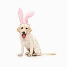 Portrait of white Labrador retriever wearing rabbit ears