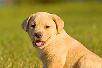 9 week old yellow Labrador Retriever puppy