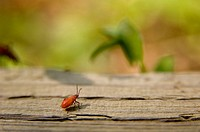 Box elder bug (Leptocoris trivittatus)