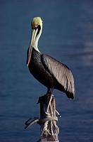 Brown Pelican perched on a wooden post