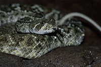 Close-up of a rattlesnake