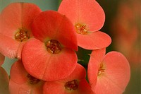 Close-up of Crown of Thorns