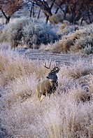 White-tailed Deer, Bosque del Apache National Wildlife Refuge, New Mexico, USA Odocoileus Virginianus