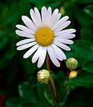 Close-up of a daisy