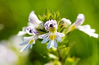 Common eyebright, Euphrasia rostkoviana, close up