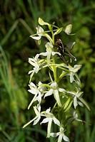 Platanthera bifolia,Barbitistes constrictus