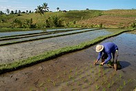 Indonesia, Bali, man working in a ricefield