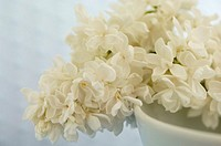 White syringa, close-up