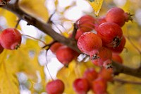 Crab apples on tree, close-up