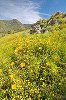 Bright golden poppies and the green spring hills of Figueroa Mountain (thumbnail)