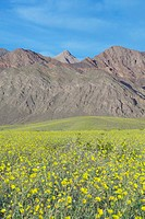 Mountain view and spectacular desert gold and various spring flowers (thumbnail)