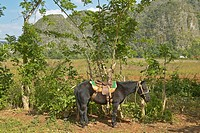 A horse tied to a tree in the Valle de Viñales in central Cuba