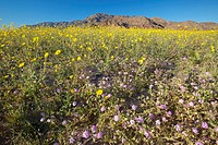 Mountain view and spectacular desert gold and various spring flowers