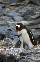 Gentoo penguins and chicks Pygoscelis papua