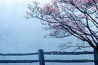 Dogwoods and split rail fence (thumbnail)