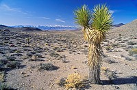 Joshua Tree Desert in bloom, Yucca plants (thumbnail)